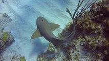 Un plongeur retire un couteau coincé dans la tête d'un requin