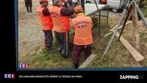 Fukushima : des sangliers radioactifs envahissent la lle (déo)