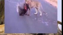 Tiger repas le plus cher - Léopard VS Porc-épic !!!!