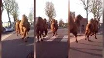 Ces deux chameaux ont eu envie de faire une petite promenade dans les rue de Roubaix