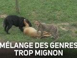 Des guépards et des chiots jouent ensemble !
