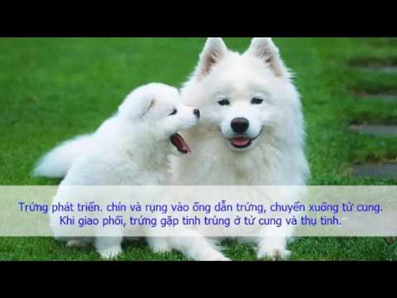 Sinh Lý - CHU KỲ SINH SẢN CỦA CHÓ CÁI Sinh lý sinh sản ở chó | Yêu Thú Cưng