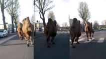 Roubaix: Deux chameaux font une petite promenade dans les rues !