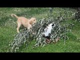 Golden Retriever Playing with water | Golden Retriever Compilation 2017