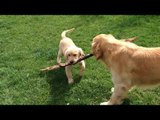 Golden retriever compilation funny video | Golden retriever playing with stick.