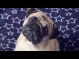 Pugs puppies barking Funny Video | Pugs Playing With Cat.