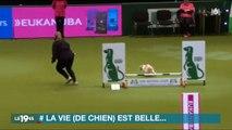 Le concours de chiens totalement raté d'un jack russel et sa maitresse amuse beaucoup les internautes - Vidéo
