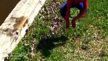 Spiderbaby Goes For A Swim and Lands In Stinky Dirty Dog POOP SuperHero Swimming In Real Life 2016