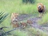Ces lionceaux trop mignon essaient de rugir comme papa