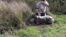 Le beau geste de ce gars qui sauve la vie dun mouton enlisé dans la boue