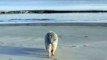 Ziggy, un cochon heureux. Tous ses congénères ont le droit d'être heureux. GO VEGAN... POUR EUX NOUS IRONS JUSQU'AU BOUT.