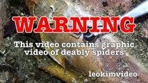 Scary Redback Spider Infestation Found I Need A NUKE-exNxo