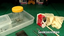 Redback Spider Egg Sac Whats Inside Is SCARY-ExrWLJ