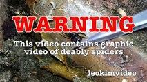 Scary Redback Spider Infestation Found I Need A NUKE-ex