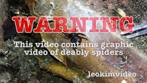 Scary Redback Spider Infestation Found I Need A NUKE-exN