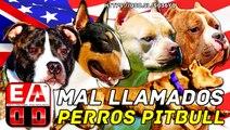 EL AMERICAN PITBULL TERRIER (APBT) VS LAS LINEAS DE PERROS TIPO PITBULL