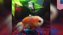 'Kursi roda untuk ikan' membantu ikan mas berenang kembali - Tomonews
