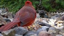 И Красивые Птица птицы кошки чир для Робин пение Песня Кому Это видео смотреть ● пение птиц ●