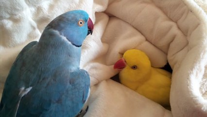 Snuggling parrot has a hard time getting out of bed