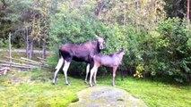 debThe Moose is Loose - Moose Video for Kids -