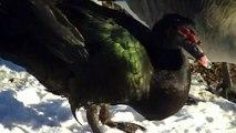 Rare Duck Wildlife Midwest