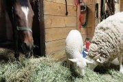 Horses, Sheep and a cat that doesn't know why she did what she did but now kind of regrets it