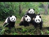 Cute pandas playing on the slide
