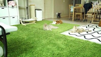 5 Kitties - What's Their Reactions When Owner's Back Home? 다섯마리 마중냥이들- 집사가 집으로 돌아올 때 고양이들 반응은