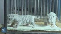 So cute! Rare white twin tiger cubs growing strong in Chinese zoo