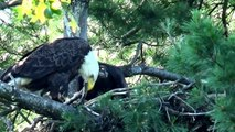 Hays bald eagles bring cat to nest for eaglets