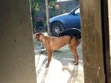 kücük köpek büyük köpek ask yaparken izle