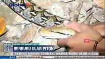 Sering Makan Ternak, Ular Piton Sepanjang 3 Meter Ditangkap Warga