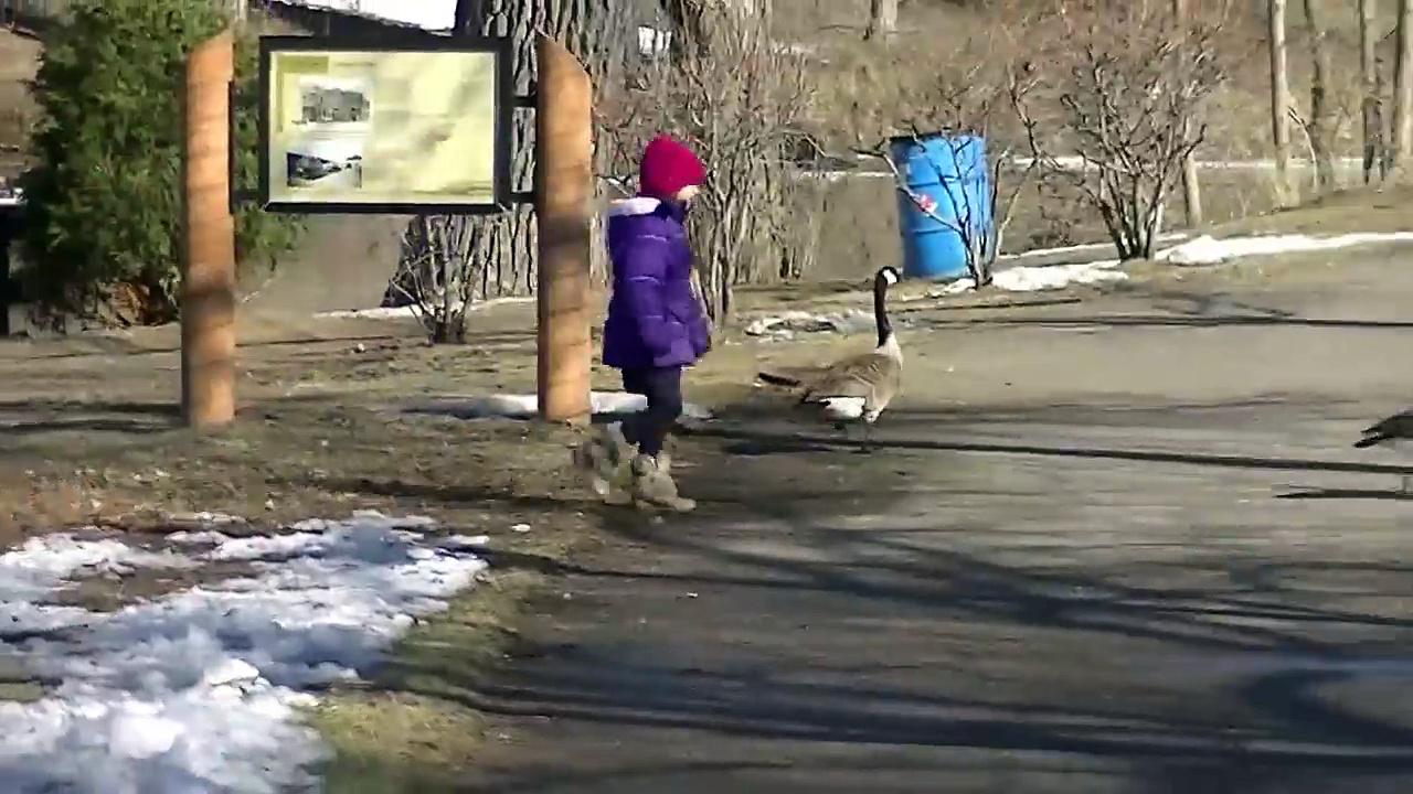 Ducks chasing Guy