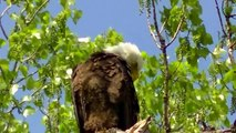 This Beautiful Bald Eagle Nesting Feeding Young Eaglets !