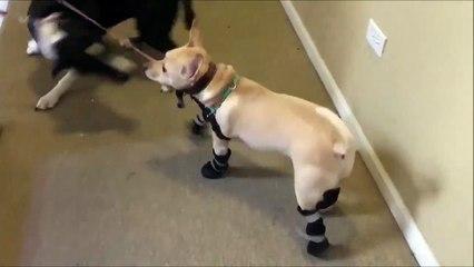 Ce chien descend les escaliers sur 2 pattes... Ok, il maitrise!
