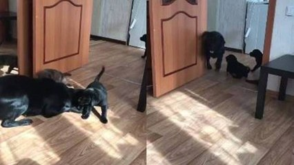 Labrador mom playing with her puppies