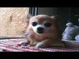 chihuahua puppies playing and barking with stick | Chihuahua barking.