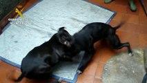 Crueles peleas de perros en Málaga: La Guardia Civil investiga a 4 personas por maltrato animal