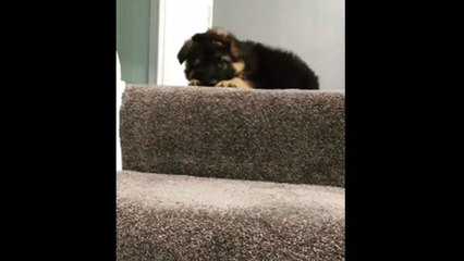 German Shepherd puppy argues with owner about going down the stairs