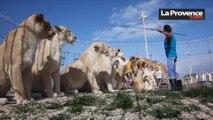 Marseille : dans les coulisses du nouveau numéro des lions du cirque Pinder