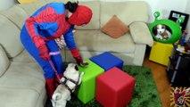 Spidermans Farting POOP Pug BAD DOG is Turned Into a Toy! Spiderman vs Joker PRANK! Spide