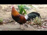 Rooster crowing all day rooster crowing in the morning