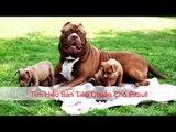 Tieu chuan cho pitbull | Tìm hiểu bản tiêu chuẩn chó Pitbull