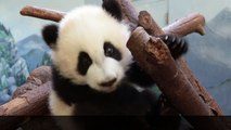 Twin pandas venture outside for the first time