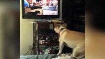 Quand ton chien veut à tout prix rejoindre les chiens dans la TV...