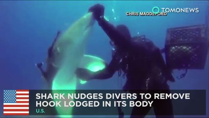 Video shows shark nudge divers for help to remove fishing hook