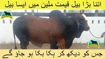364 || Cow Mandi || 2017 || 2018 || Karachi Sohrab Goth || Shafiq Cattle Farm