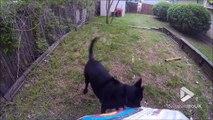 Ce chien va chercher les fleches quand son maitre tir à l'arc... Pratique