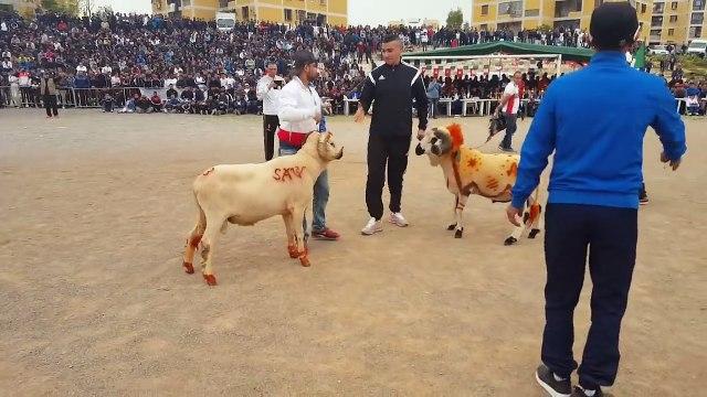Sheep fight Must Watch