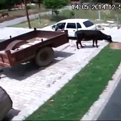 akıllara zarar inek hırsızlığı